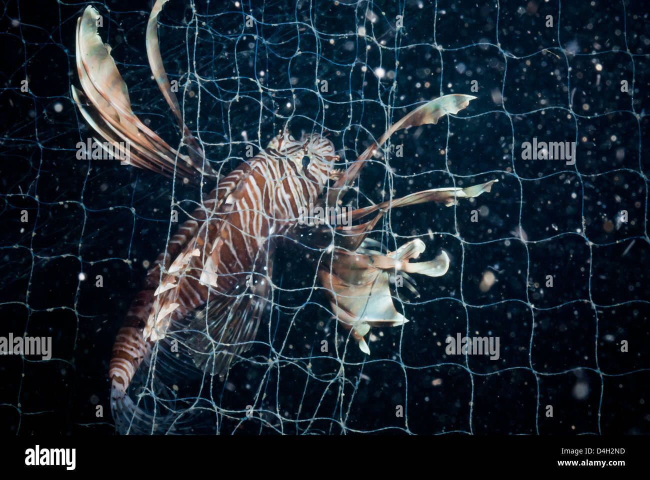 Scorpionfish caught in fishing net, Southern Thailand, Andaman Sea, Indian Ocean, Southeast Asia - Stock Image