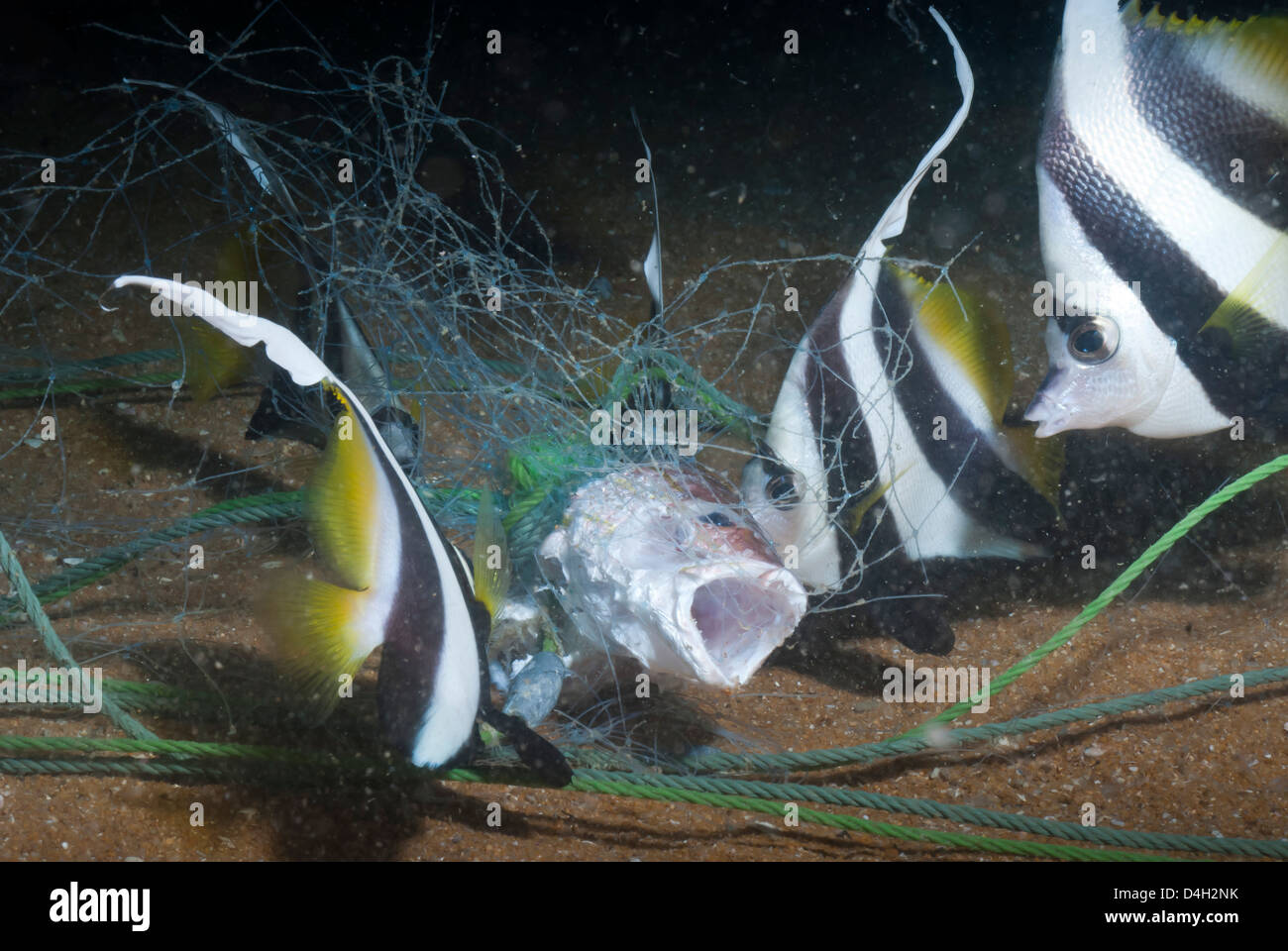 Moorish idol (Zanclus Ccornutus) caught in fishing net, Southern Thailand, Andaman Sea, Indian Ocean, Southeast - Stock Image
