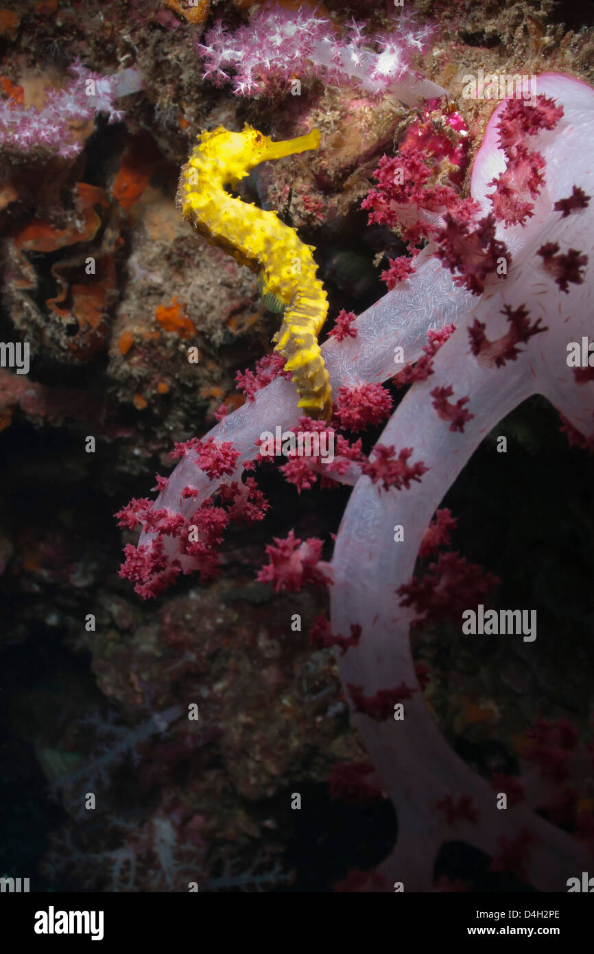 Thorny seahorse (Hippocampus hystrix), Southern Thailand, Andaman Sea, Indian Ocean, Southeast Asia - Stock Image