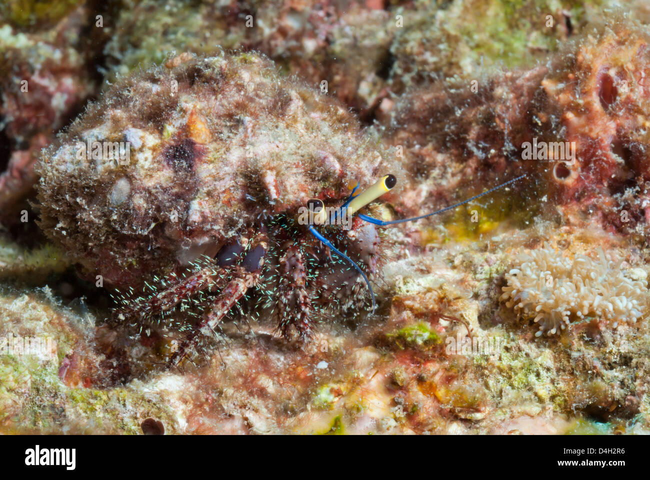 Hairy hermit crab (Aniculus elegans), Southern Thailand, Andaman Sea, Indian Ocean, Southeast Asia - Stock Image