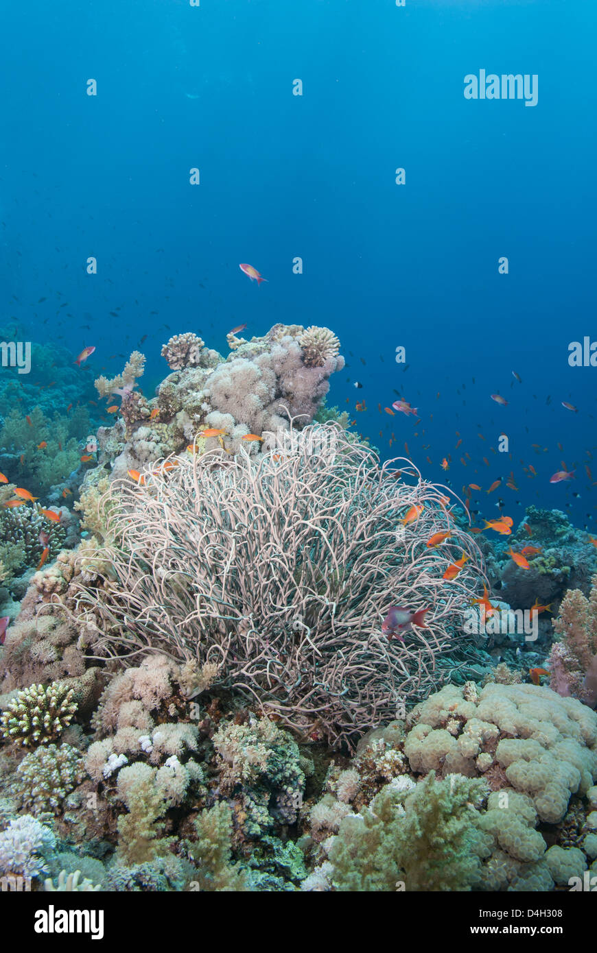 Tropical coral reef with a sea plume, Ras Mohammed National Park, off Sharm el Sheikh, Sinai, Egypt, Red Sea, Egypt - Stock Image