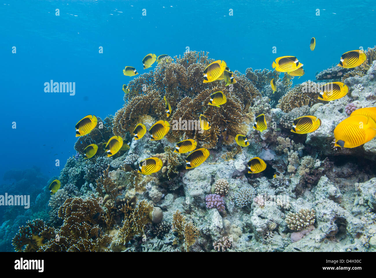Shoal of Red Sea raccoon butterflyfish, Ras Mohammed National Park, off Sharm el Sheikh, Sinai, Egypt, Red Sea, - Stock Image