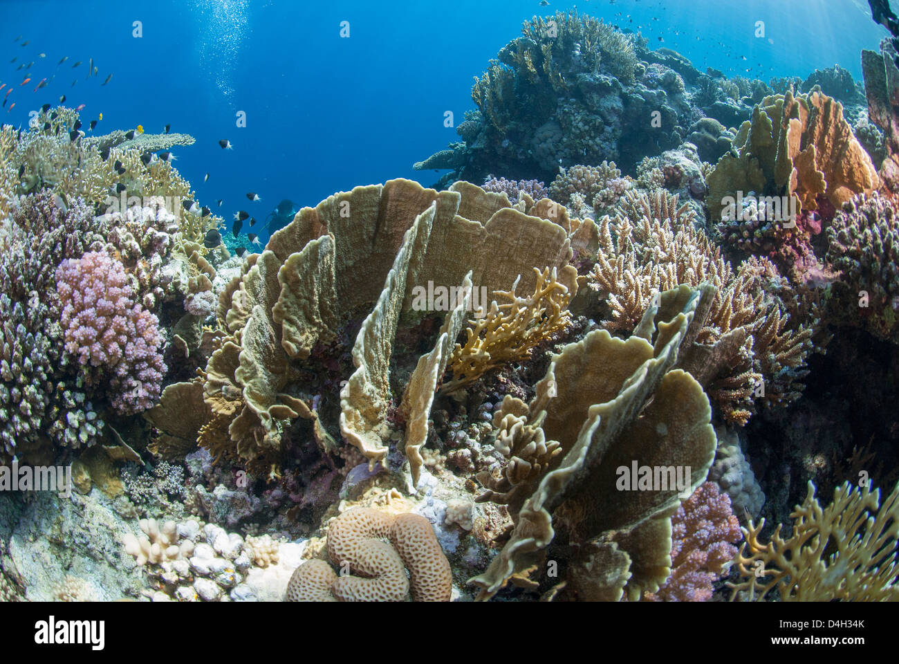 Tropical coral reef scene in natural lighting, Ras Mohammed National Park, Sinai, Egypt, Red Sea, Egypt, North Africa - Stock Image