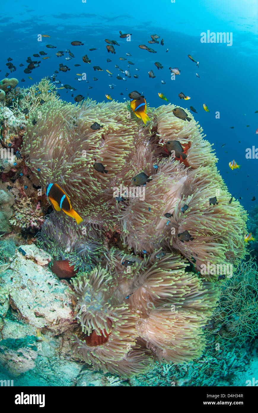 Colony of magnificent anemone, Colony, Ras Mohammed National Park, off Sharm el Sheikh, Sinai, Egypt, Red Sea, Egypt - Stock Image