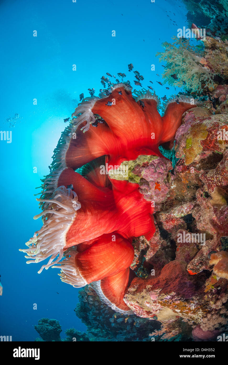 Magnificent anemone, Ras Mohammed National Park, Sinai, Egypt, Red Sea, Egypt, North Africa - Stock Image