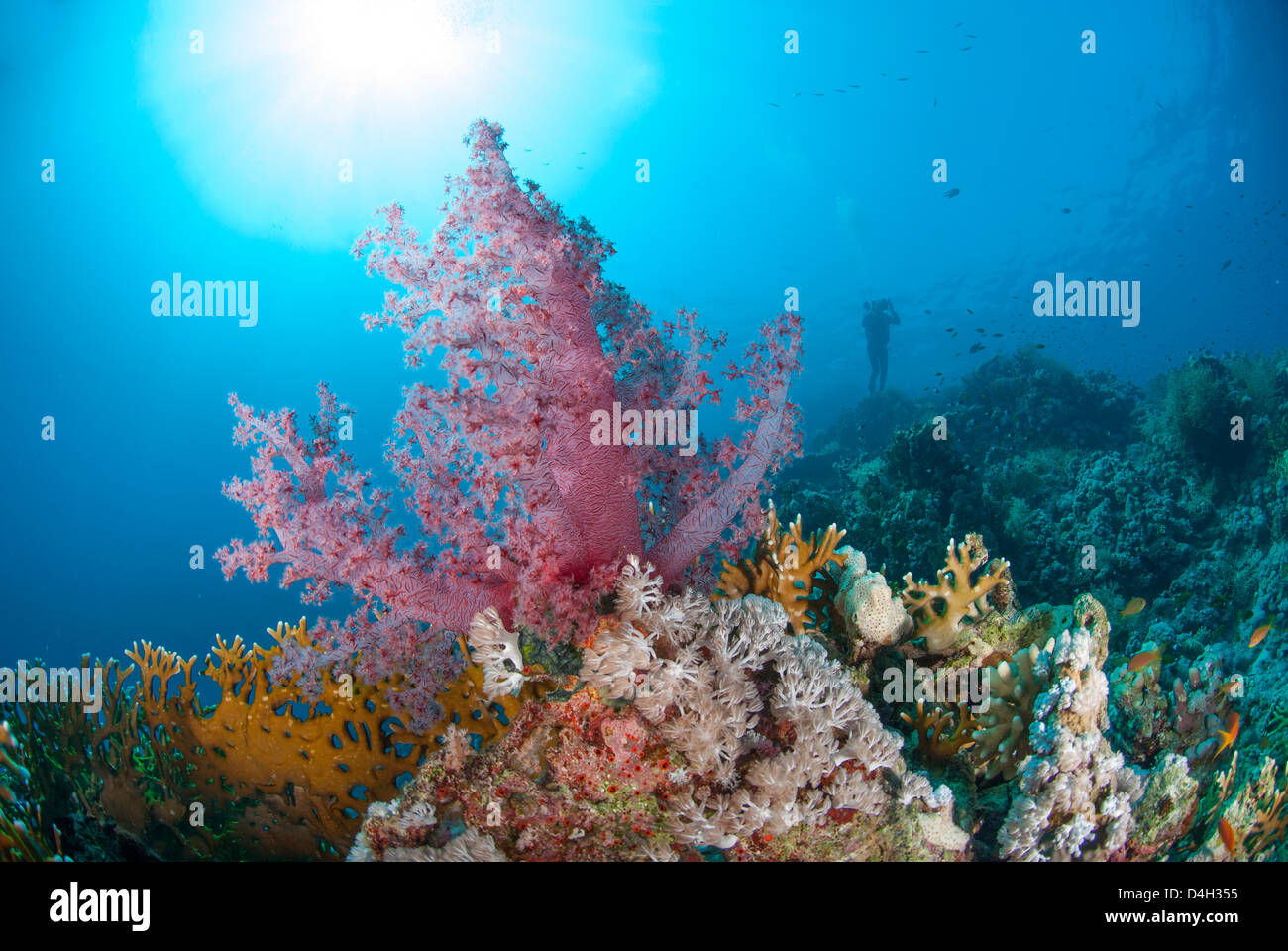 Purple soft coral, Ras Mohammed National Park, off Sharm el Sheikh, Sinai, Egypt, Red Sea, Egypt, North Africa - Stock Image