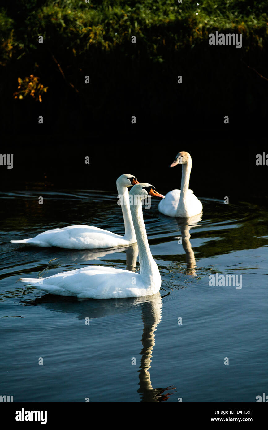 A family of mute swans (Cygnus olor) on the River Mark, Breda, North Brabant, The Netherlands (Holland) - Stock Image