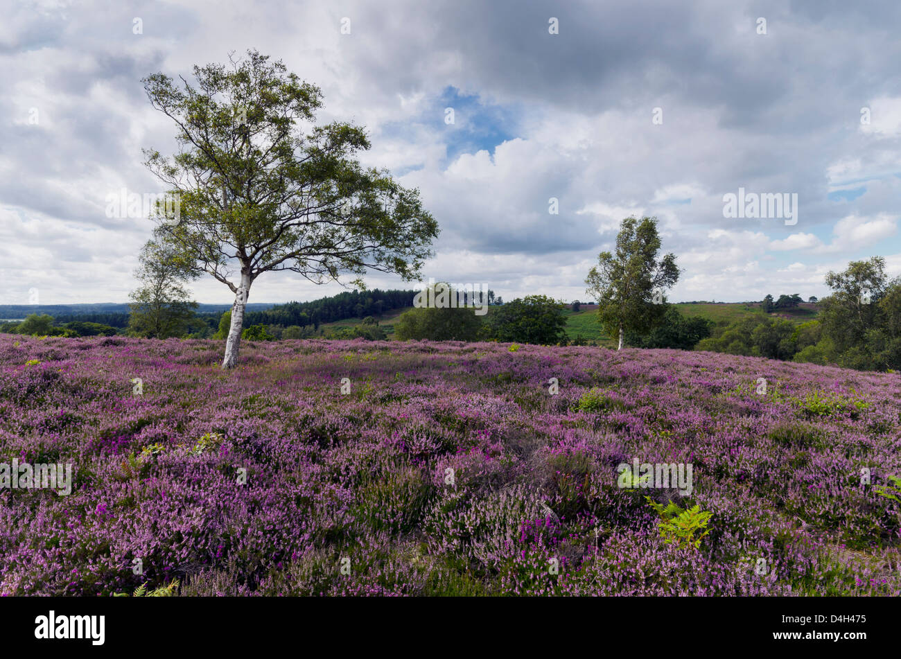 Purple heather in bloom at Rockford Common in the New Forest in Hampshire. - Stock Image