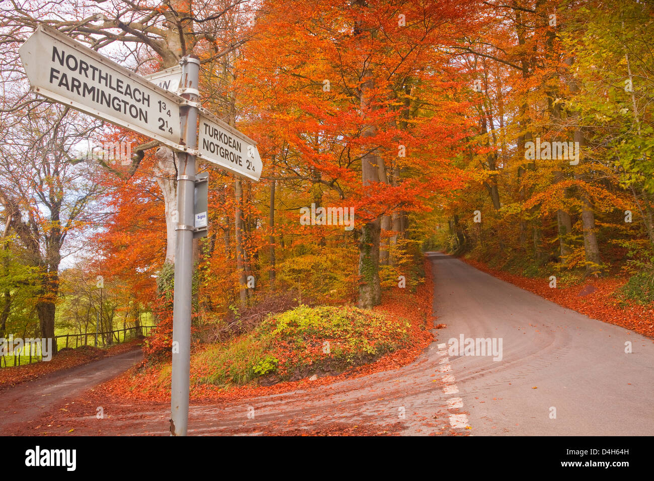 Autumn colours in the beech trees on the road to Turkdean in the Cotwolds, Gloucestershire, England, UK - Stock Image