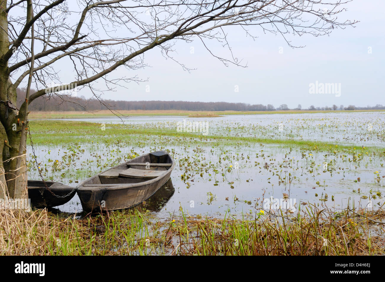 Traditional fishermen's punts chained to a tree beside flooded Narew marshes with flowering marsh marigolds, - Stock Image