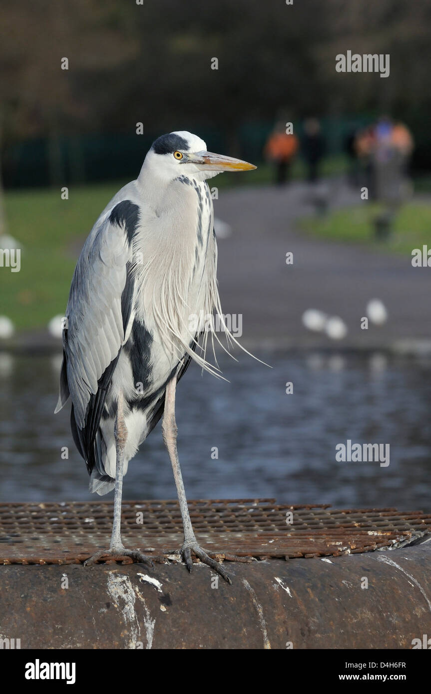Grey heron standing on metal platform in boating lake with people in the background, Regent's Park, London, - Stock Image