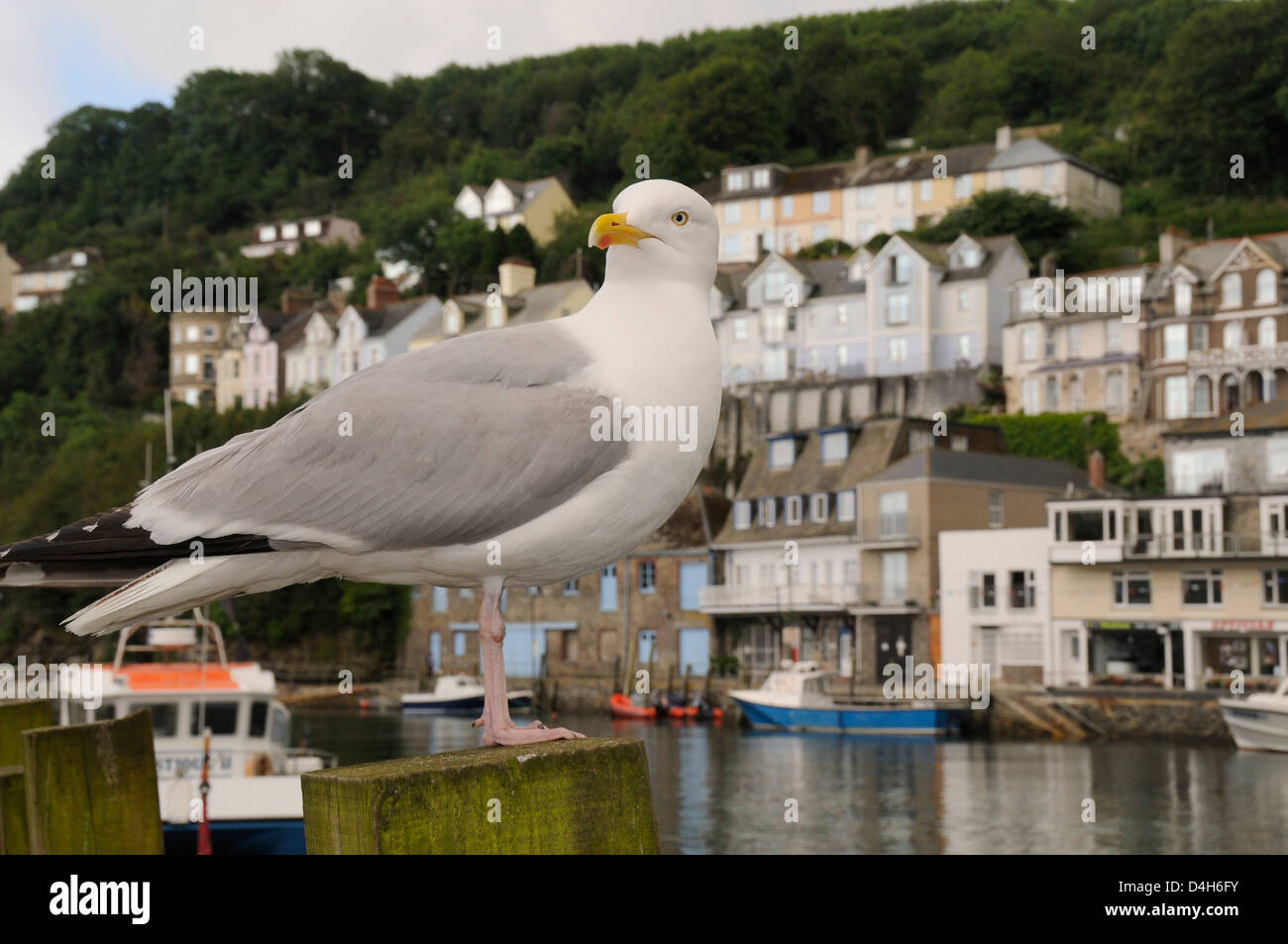 Adult herring gull standing on wooden post by Looe harbour with houses in the background, Looe, Cornwall, England, - Stock Image