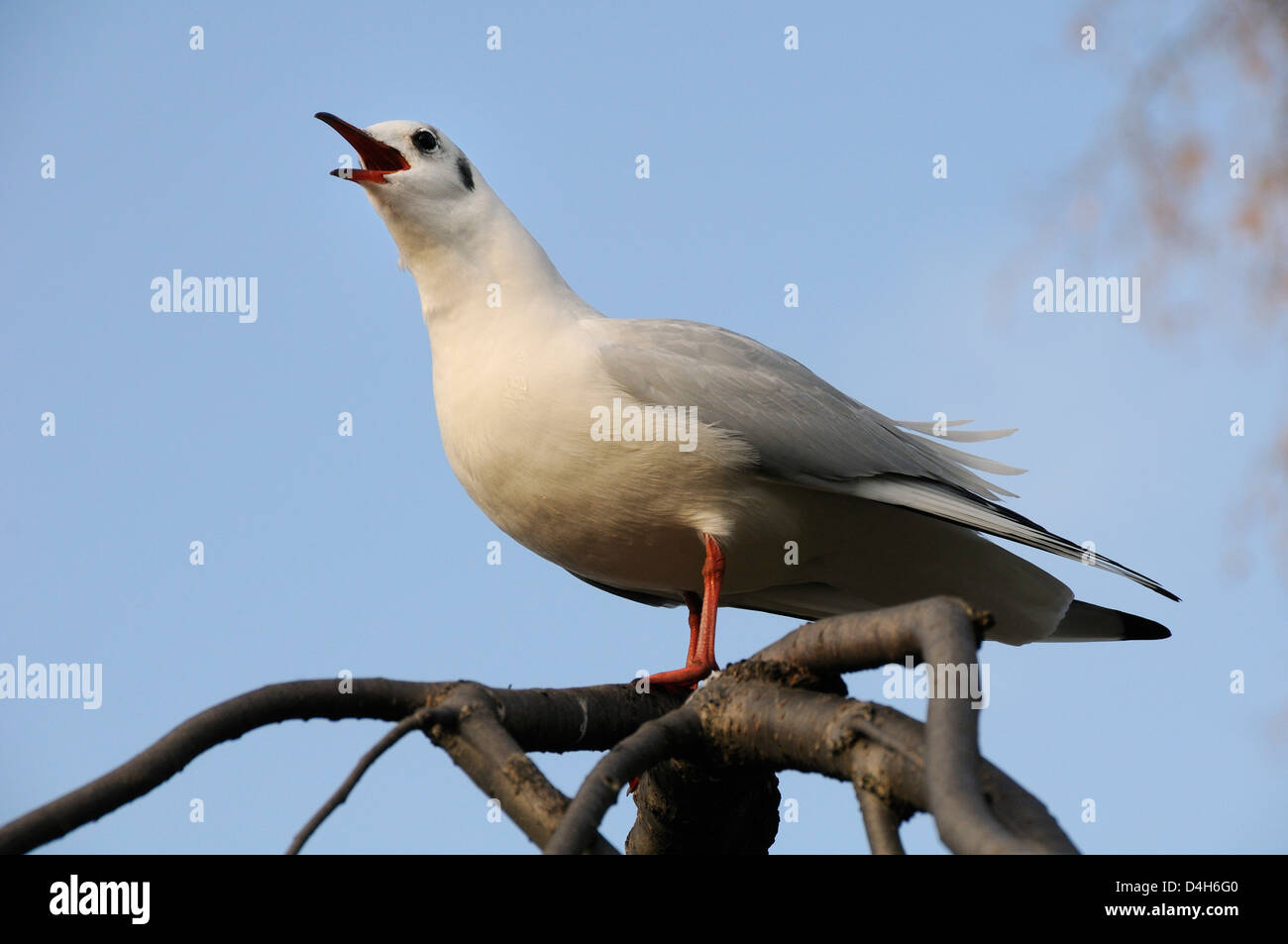 Black-headed gull (Larus ridibundus) in winter plumage calling from tree branch, St. James's Park, London, England, - Stock Image