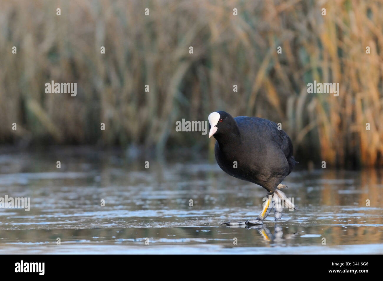 Coot (Fulica atra) walking on frozen lake in late afternoon sunshine, Wiltshire, England, UK - Stock Image