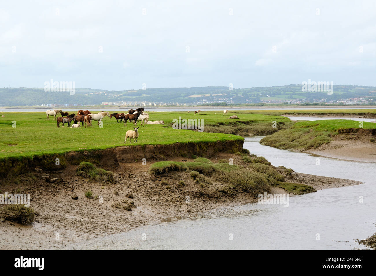 Sheep and Welsh ponies (Equus caballus) on Llanrhidian saltmarshes as the tide rises, The Gower Peninsula, Wales, Stock Photo