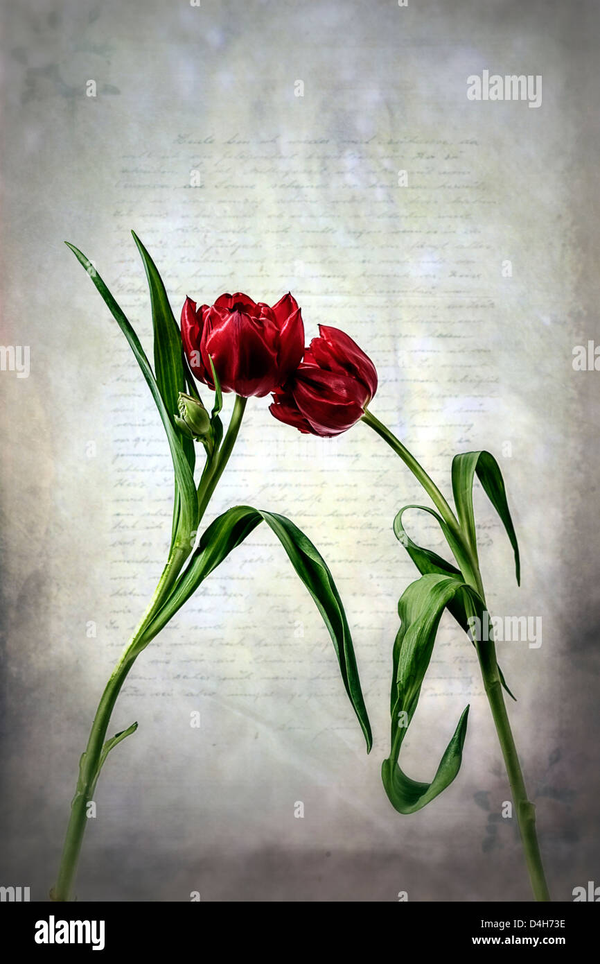 two red tulips on an old letter - Stock Image