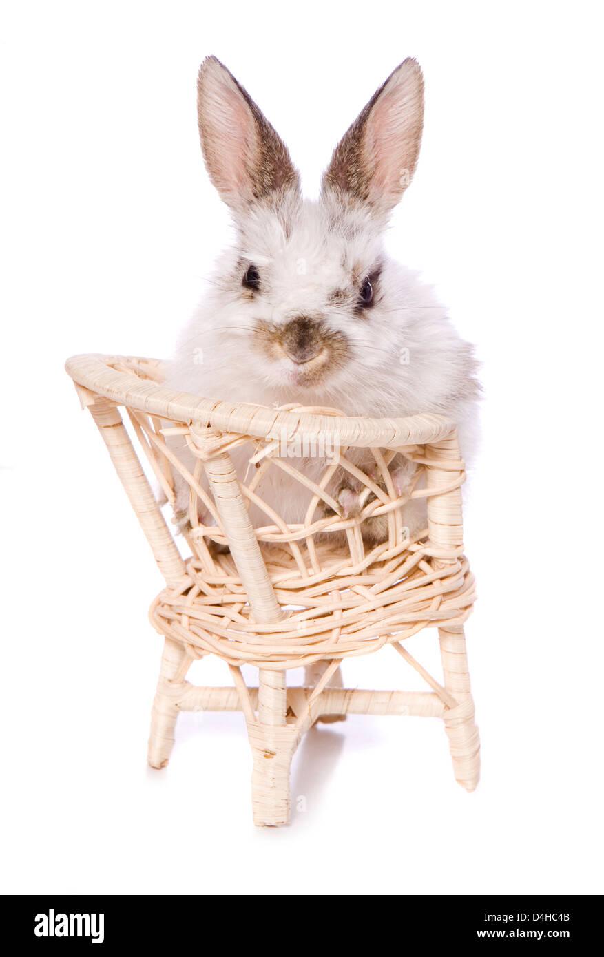 single baby rabbit sitting on a chair studio cutout - Stock Image