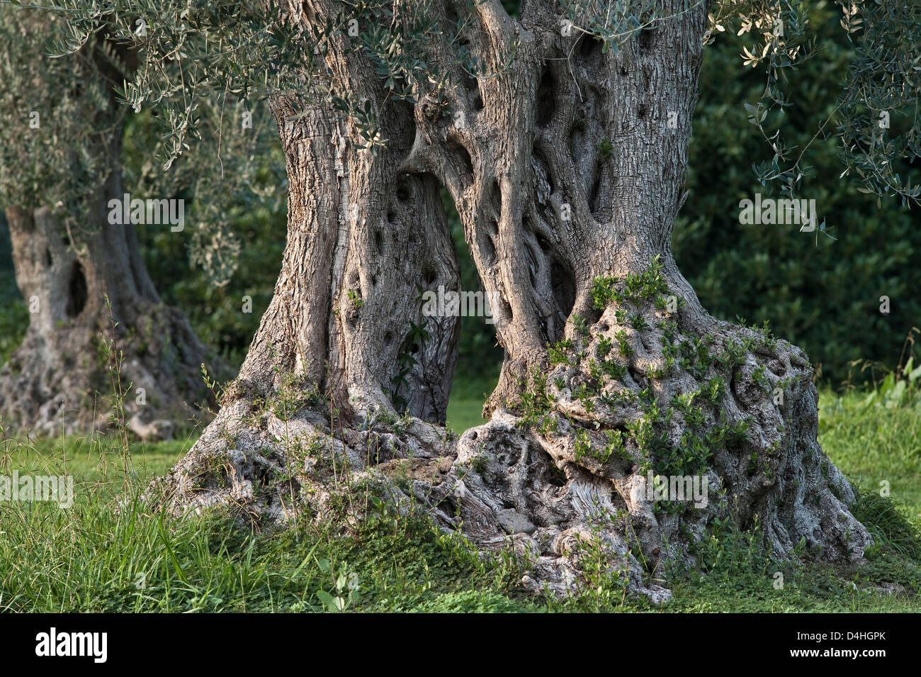 Sicily, Italy. The wrinkled trunk of an ancient olive tree (Olea europaea). Two trees have grown from a single stock, - Stock Image