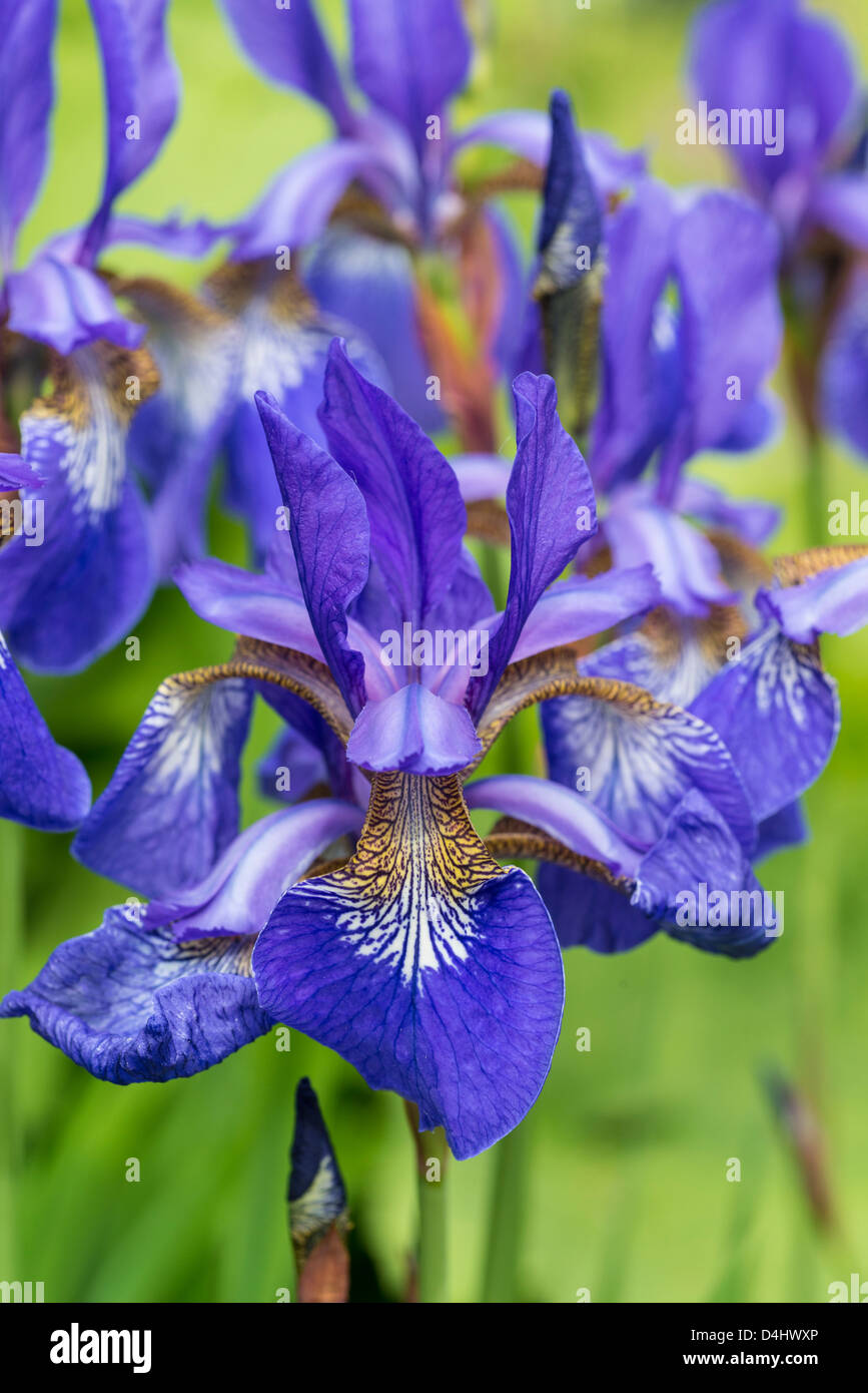 Close up of the flower of an iris - Stock Image