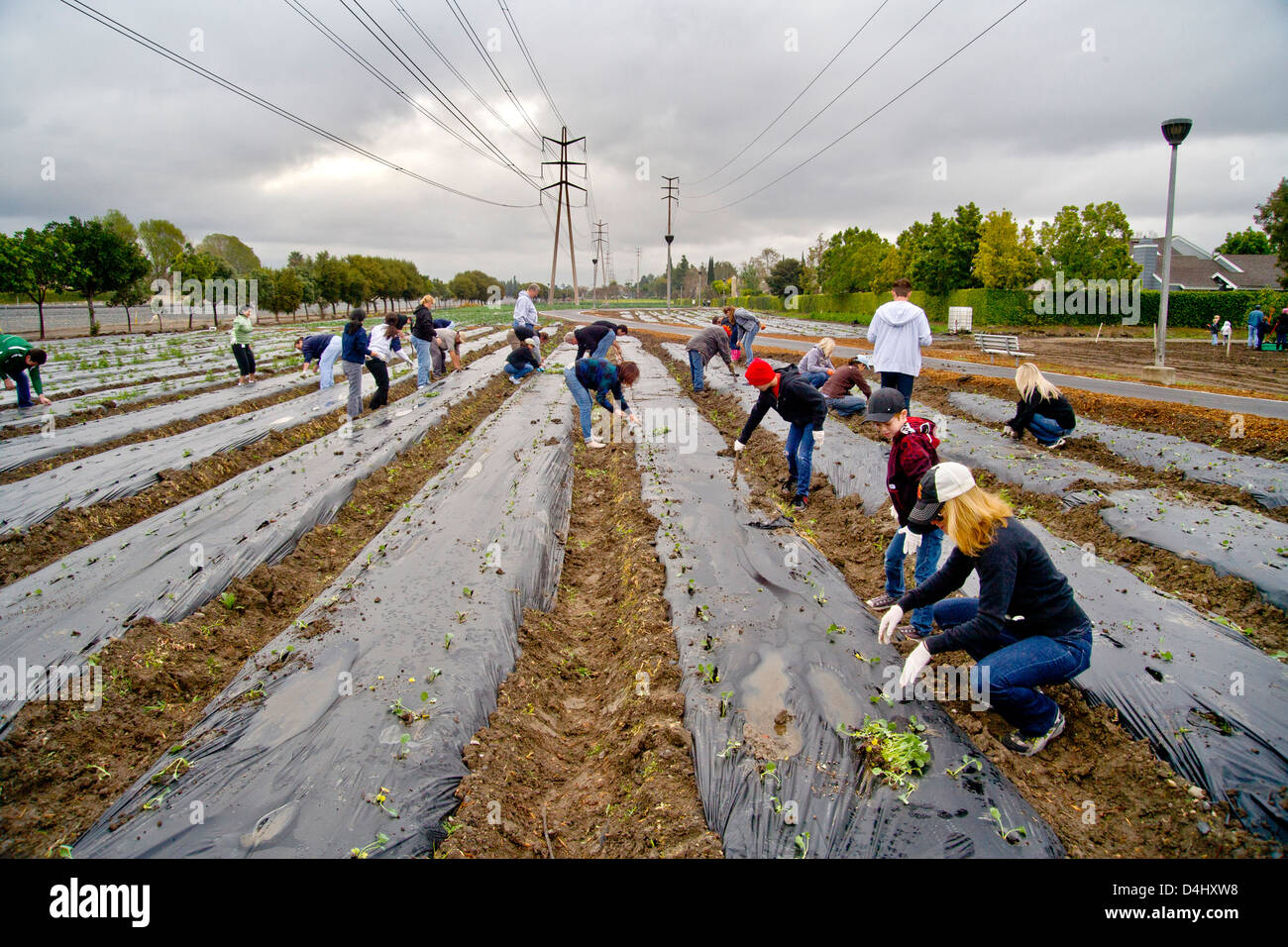 Charitable volunteers plant spinach in a muddy field in Irvine, CA, to be grown to feed the homeless. - Stock Image