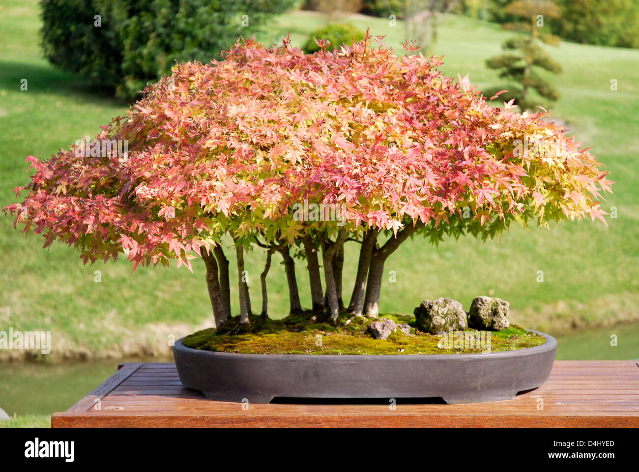 Acer Maple In Pot Stock Photos Acer Maple In Pot Stock Images Alamy