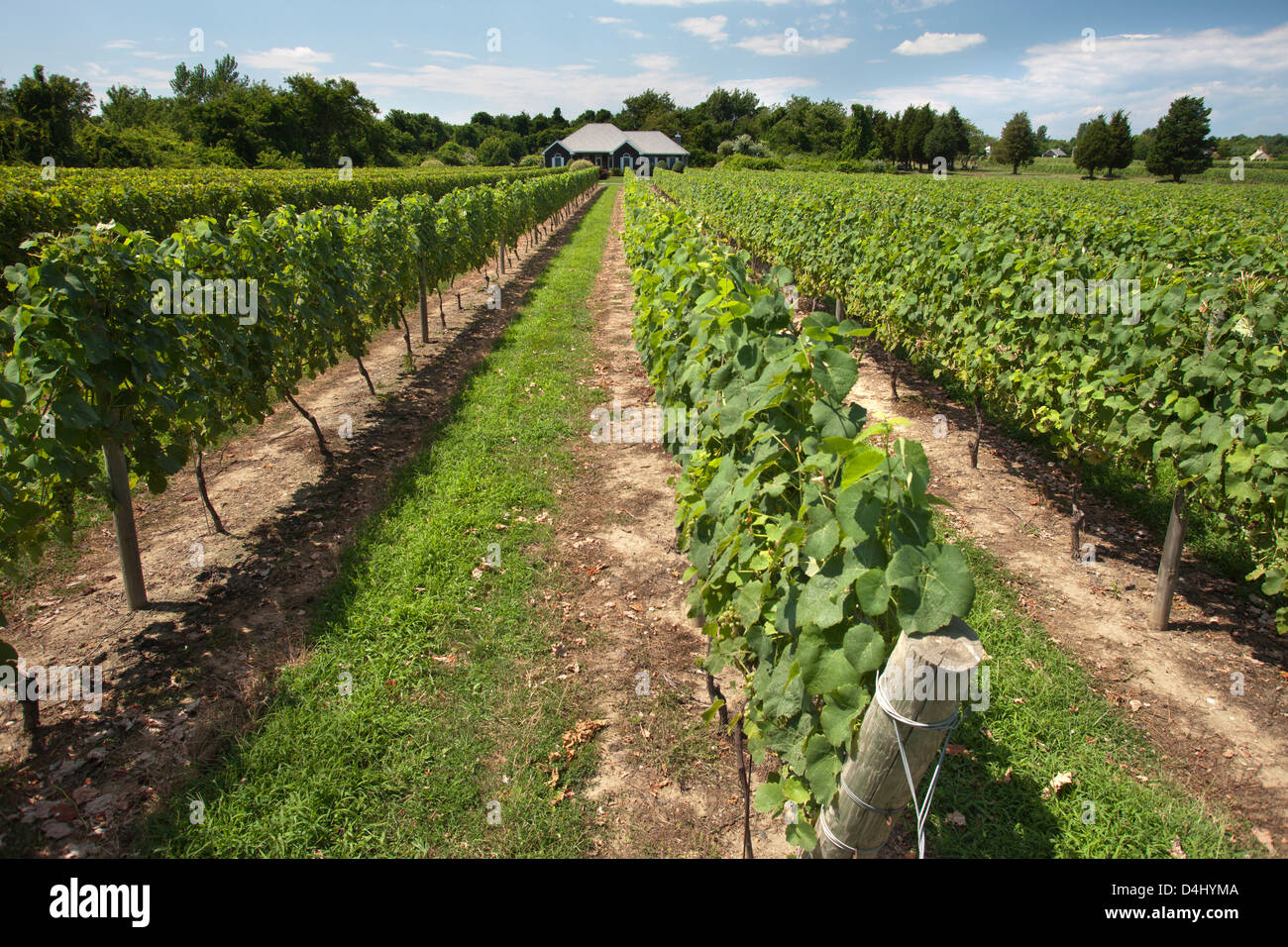 VINES AT DUCK WALK WINERY MONTAUK HIGHWAY WATER MILL LONG ISLAND NEW YORK STATE USA - Stock Image