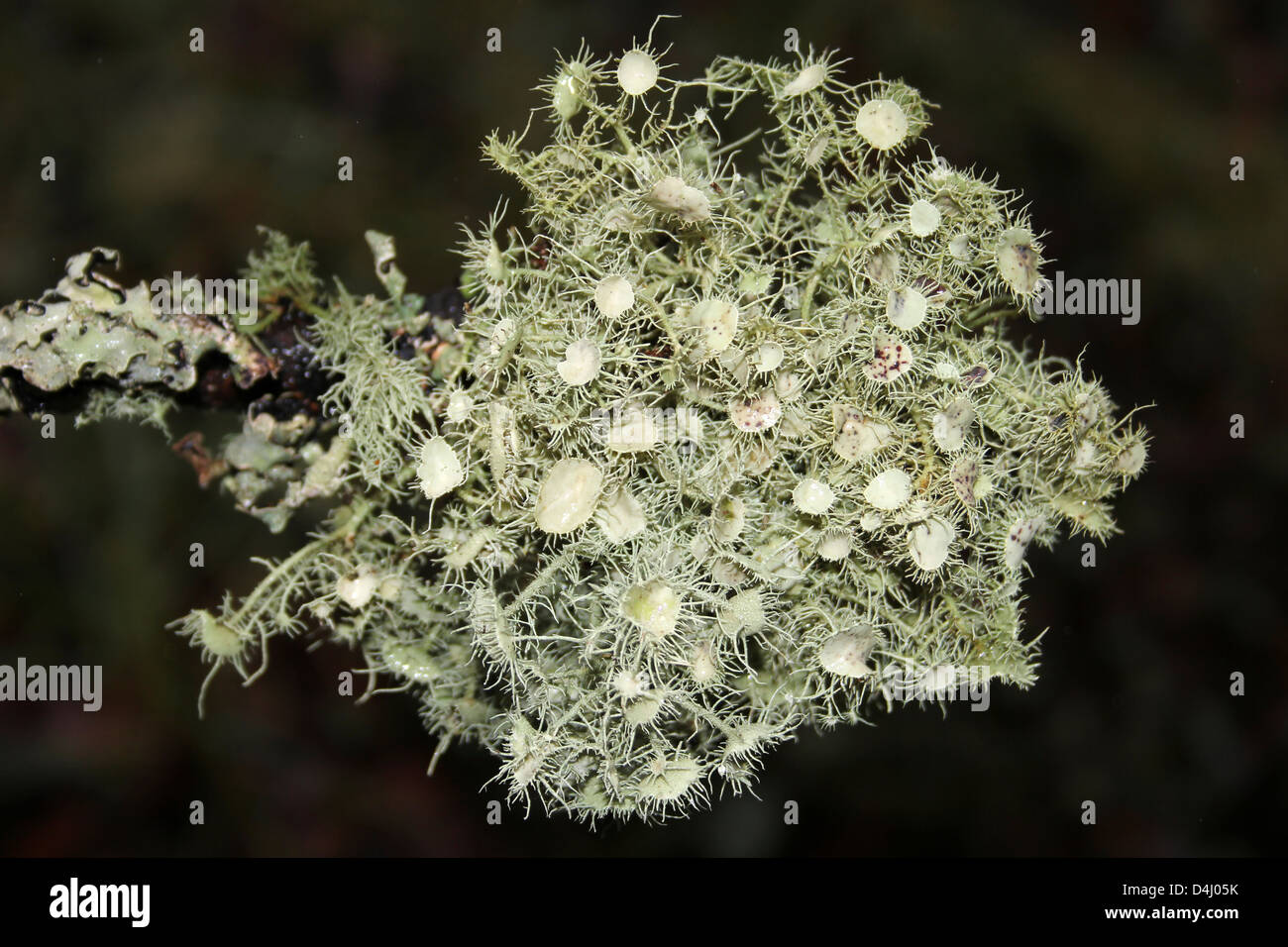 Witches' Whiskers Lichen Usnea florida – the apothecium show branched eyelash cilia - Stock Image