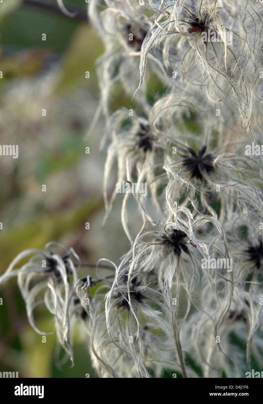 natural background showing a detail of feathered seeds in blurry back - Stock Image