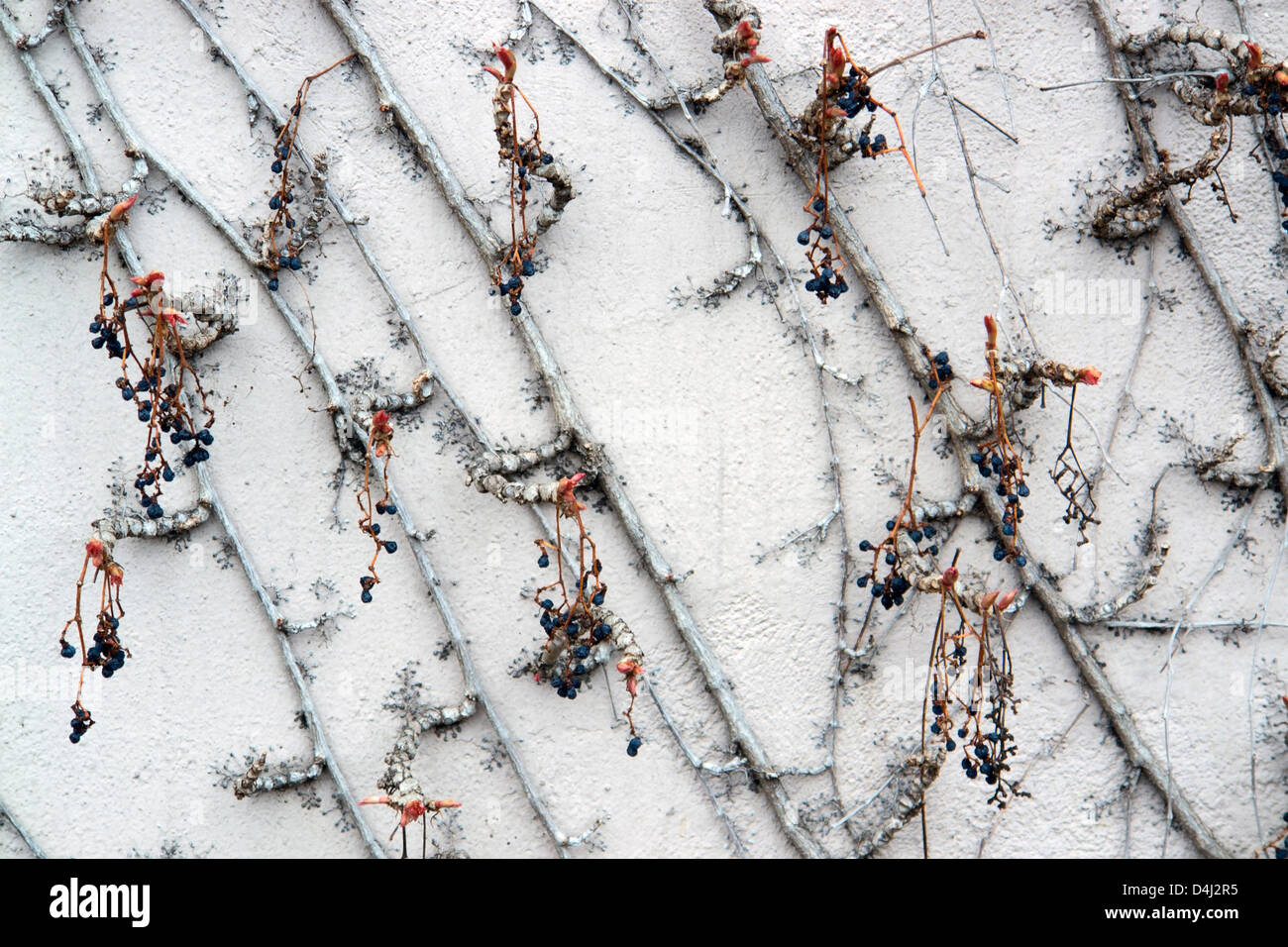 detail of Virginia creeper on plastered wall - Stock Image