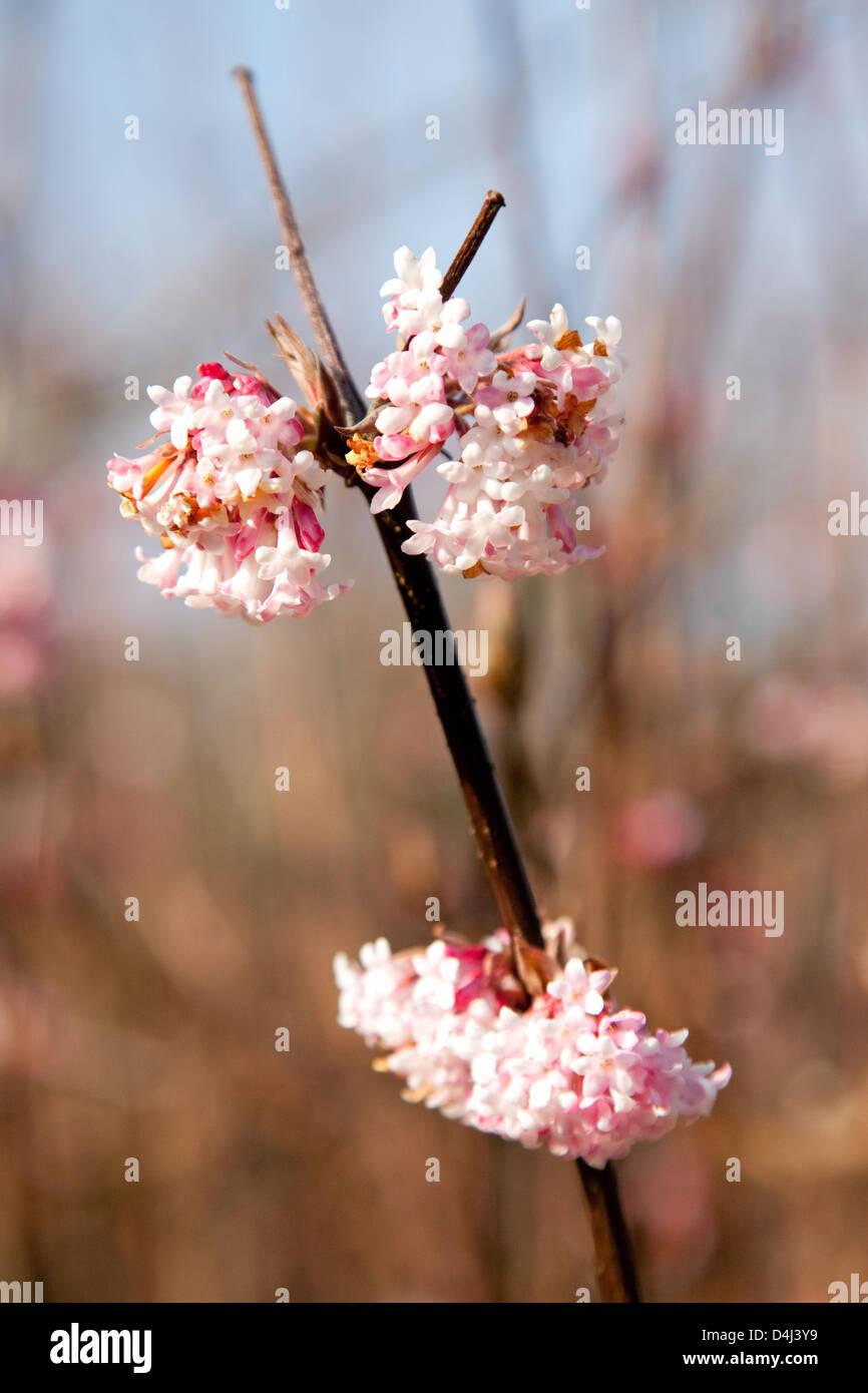 Pink flowers, UK - Stock Image