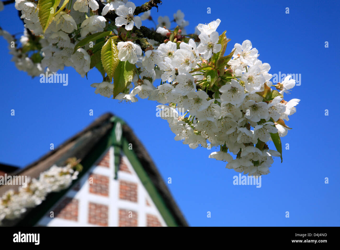 Altes Land, cherry blossom near old thatched farmhouse, Lower Saxony, Germany - Stock Image