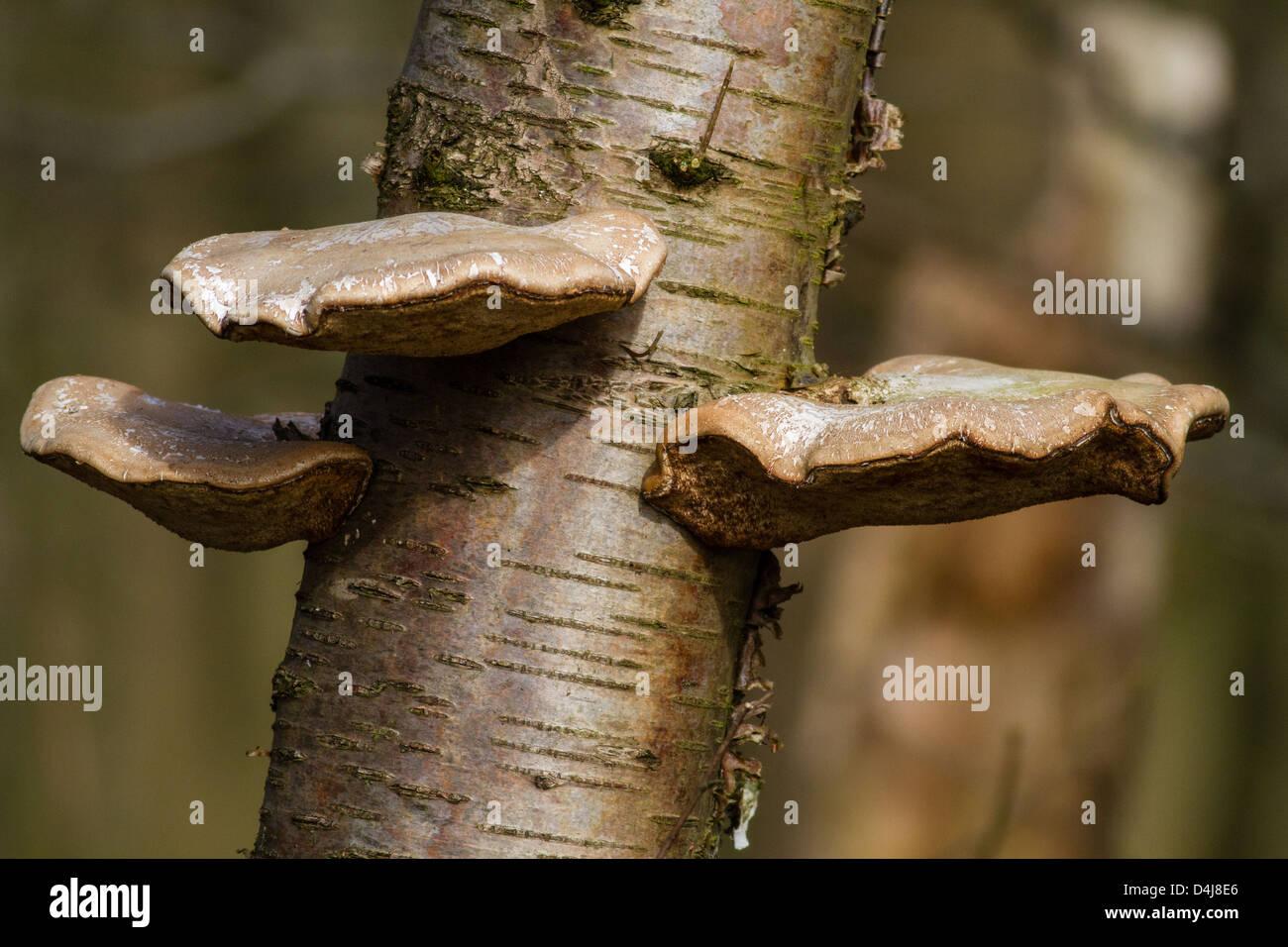 Tree fungus, Piptoporus betulinus, in soft sunlight, Yorkshire, UK - Stock Image