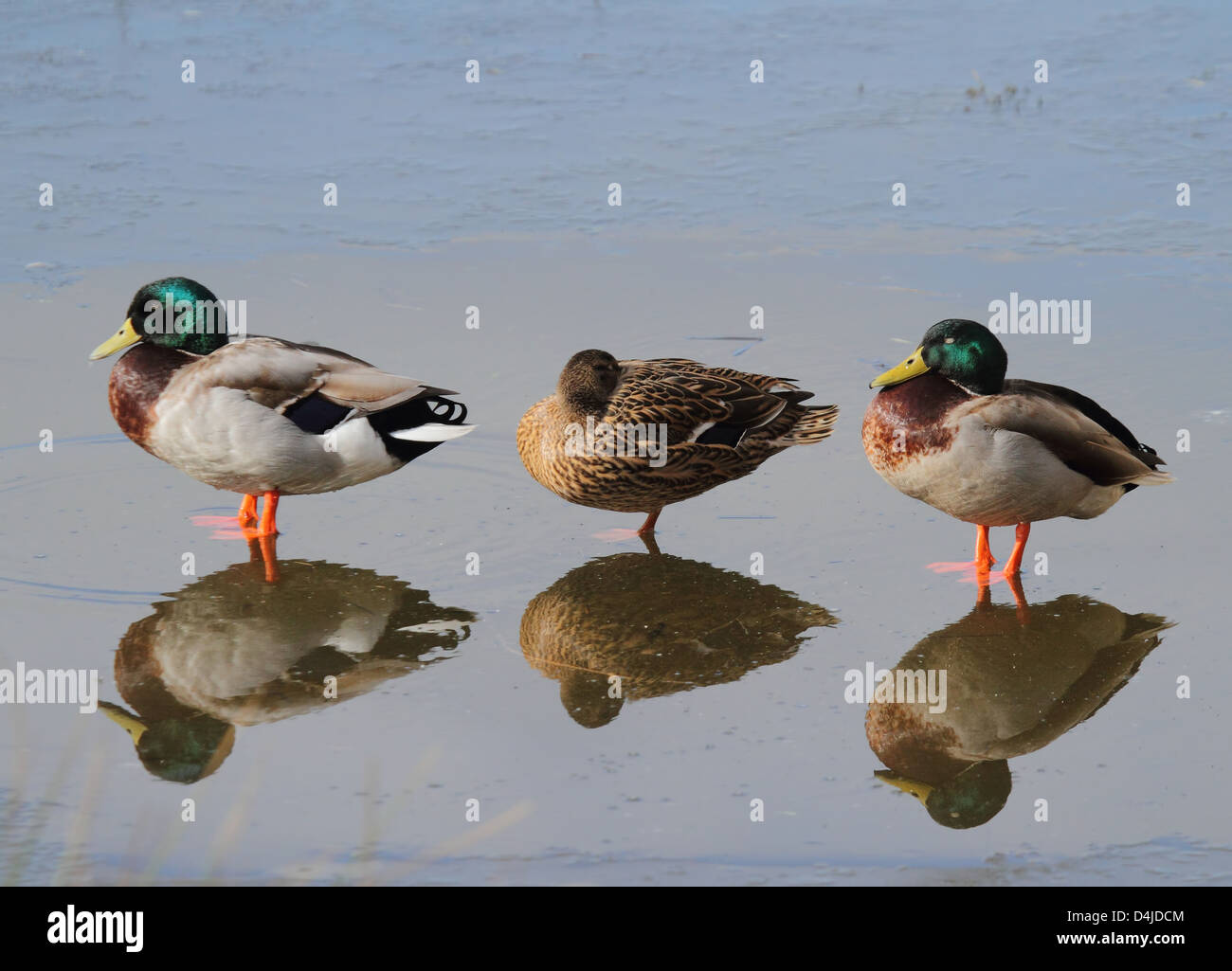 three  mallard ducks stood in shallow water with reflections - Stock Image