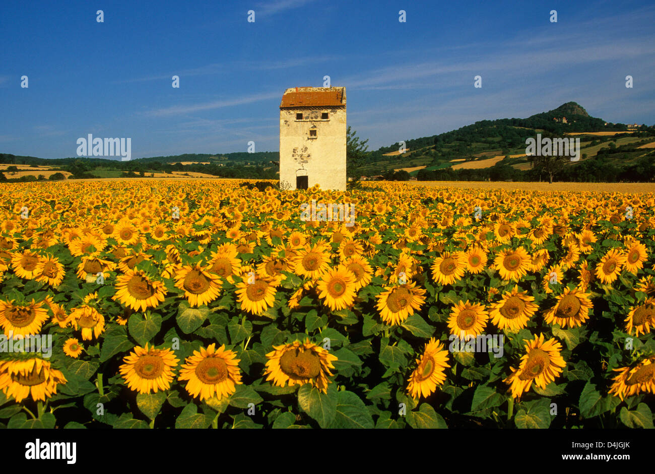 Field of sunflowers, Auvergne, France. - Stock Image