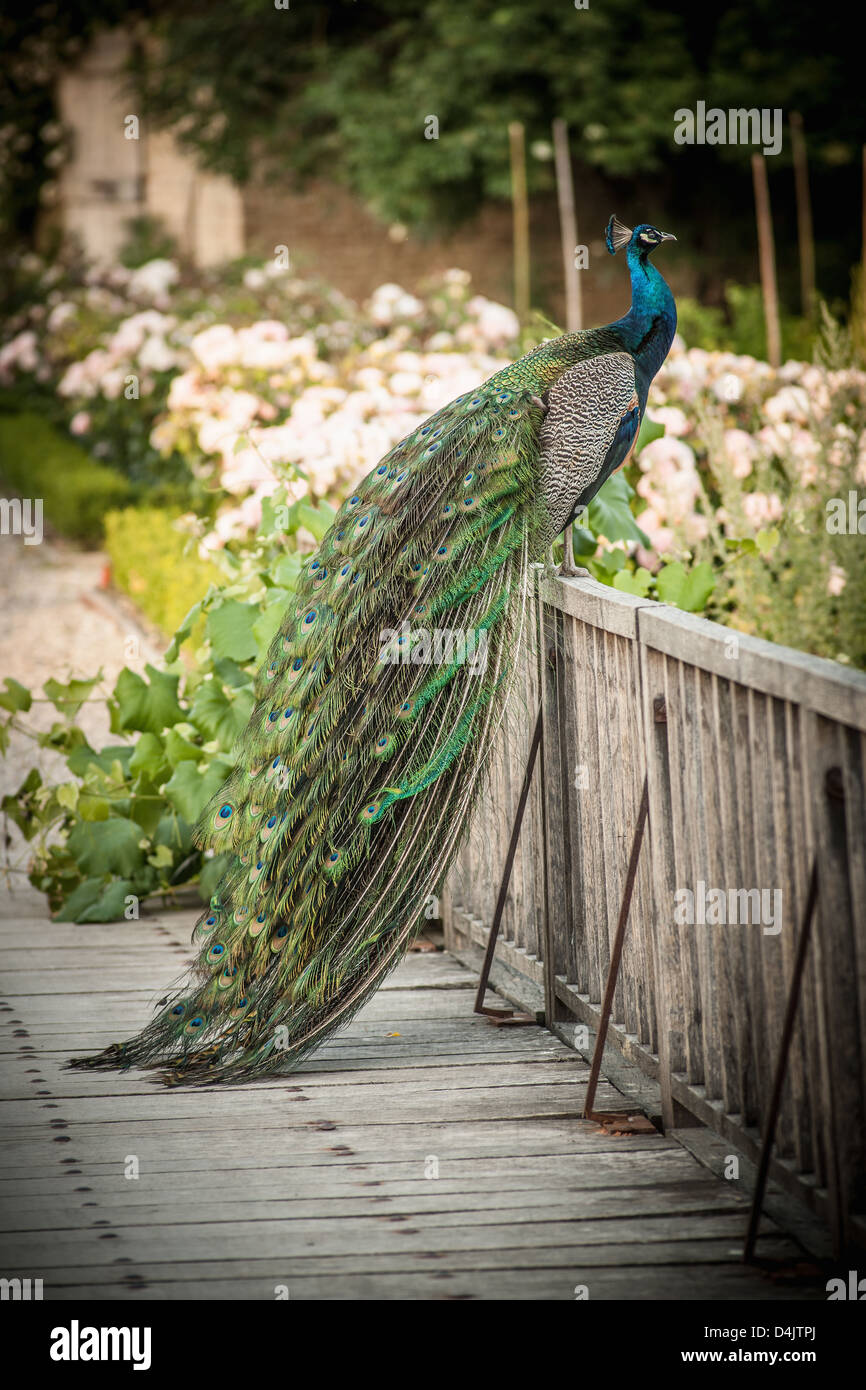 Peacock sitting on wooden fence - Stock Image