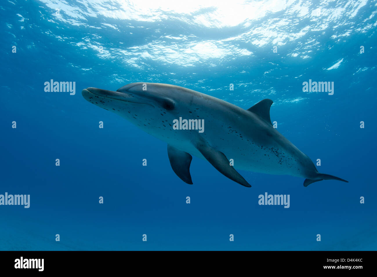 Dolphin swimming in tropical water - Stock Image