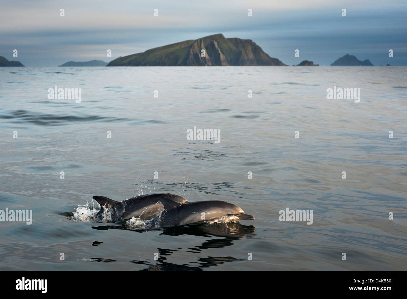 Dolphins swimming in water - Stock Image