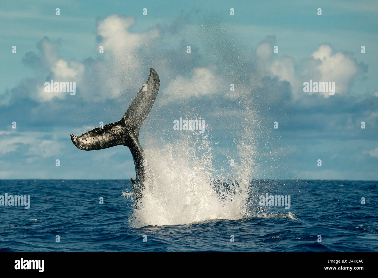 Whale splashing with tail in water - Stock Image