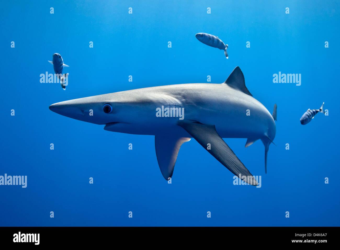 Shark and fish swimming underwater - Stock Image