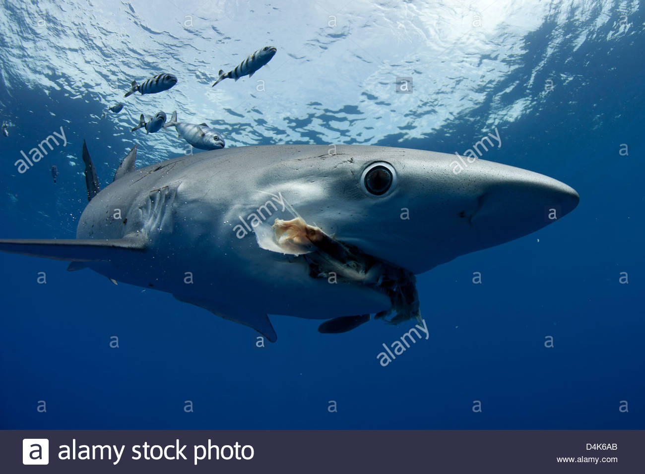 Shark and fish swimming underwater - Stock Image