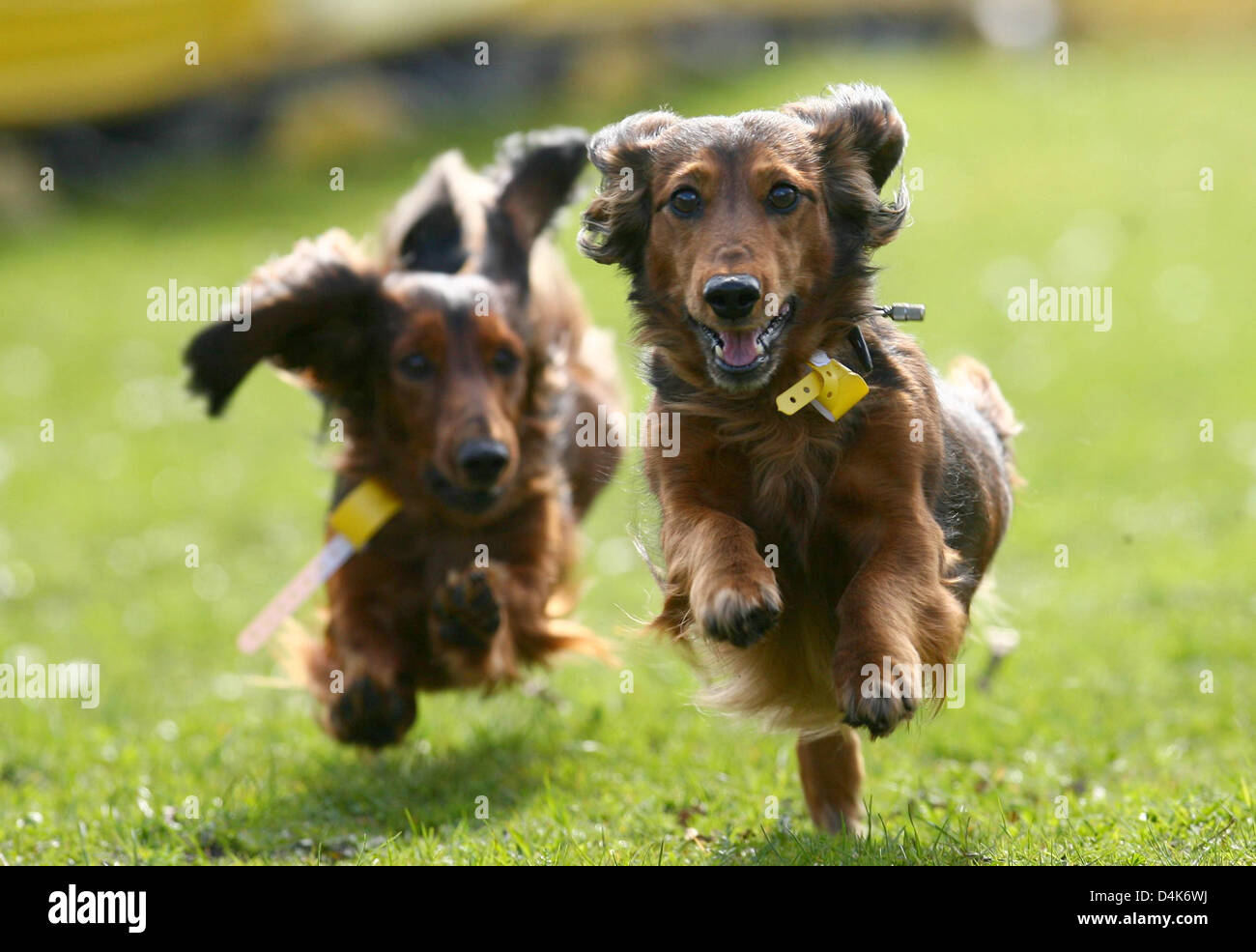 Dachshunds compete for the ?Golden Sausage of Itzehoe? at the 3rd Itzeho Dachshund Race in Itzehoe, Germany, 05 - Stock Image