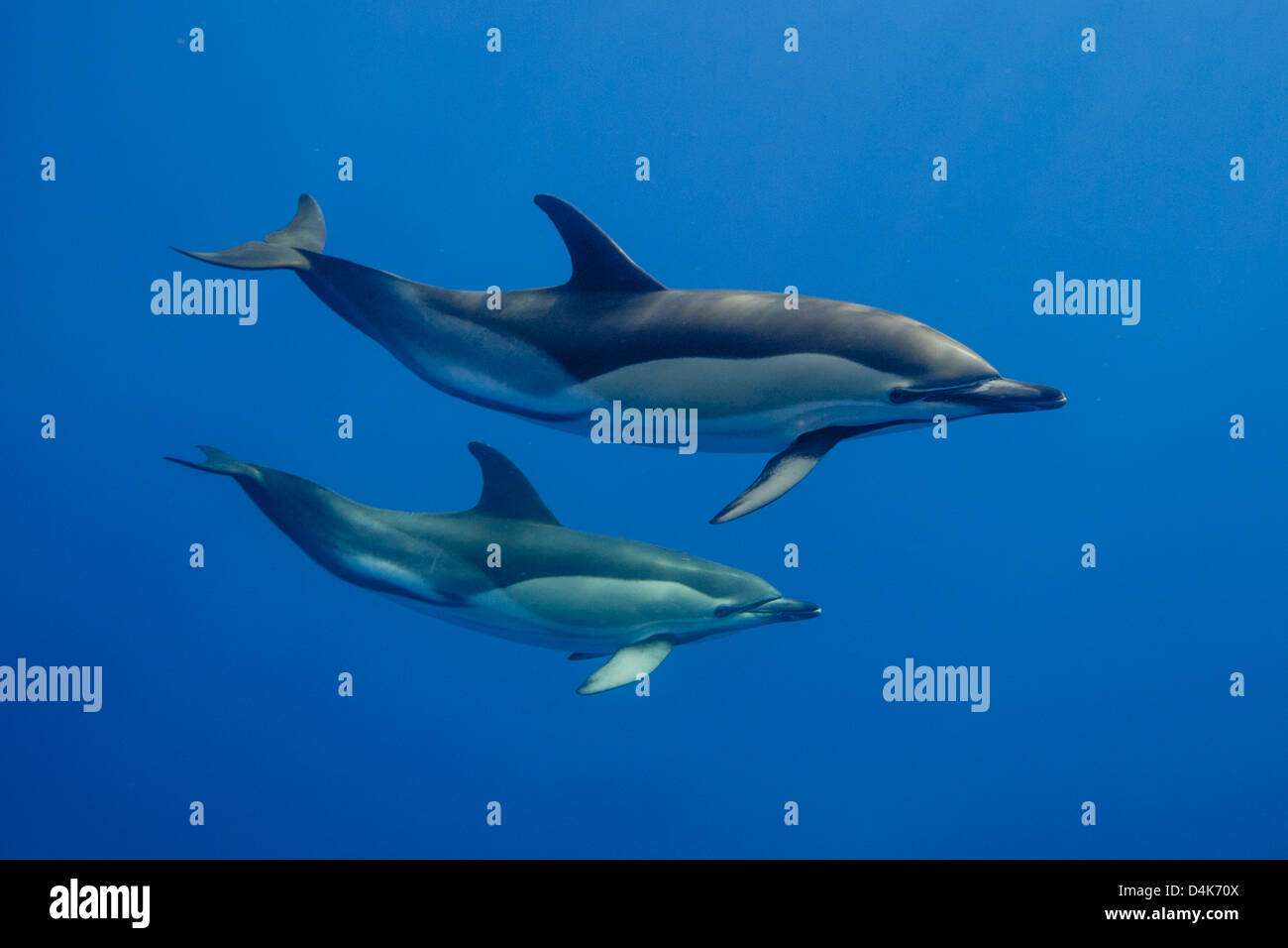 Dolphins swimming underwater - Stock Image