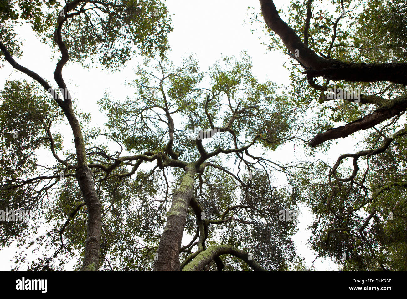 Silhouette of tree tops - Stock Image
