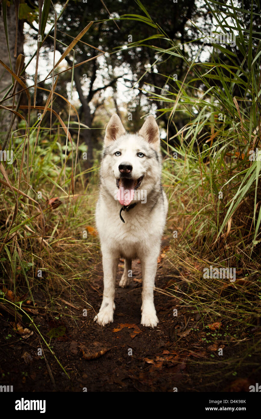 Dog panting in forest - Stock Image