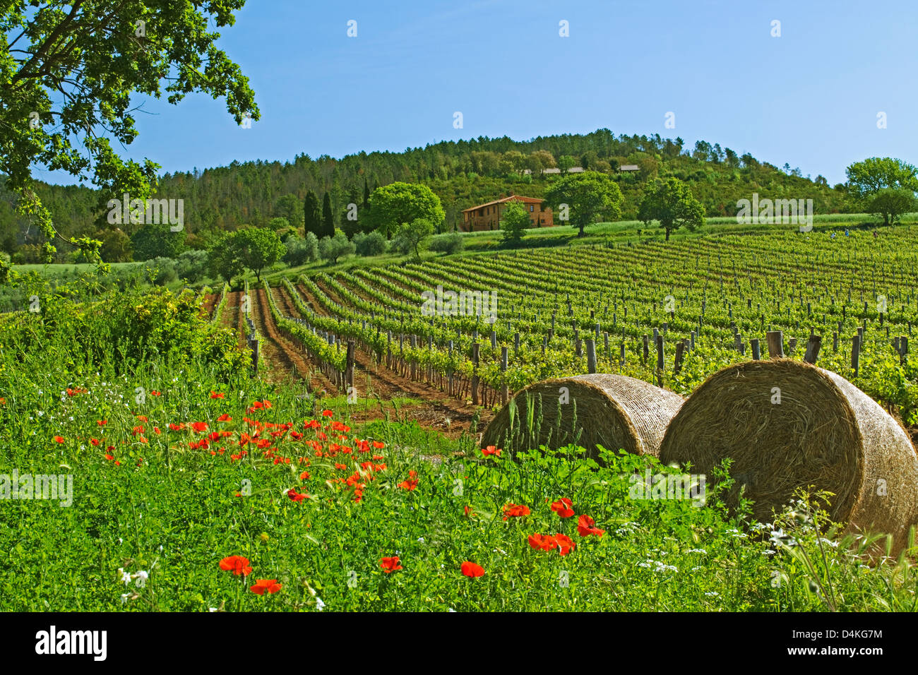 Tuscany - Vineyard with poppies, hay rolls and house, - Stock Image