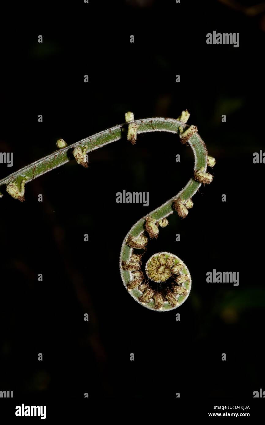 Unfolding Fern in La Amistad national park, Chiriqui province, Republic of Panama. Stock Photo