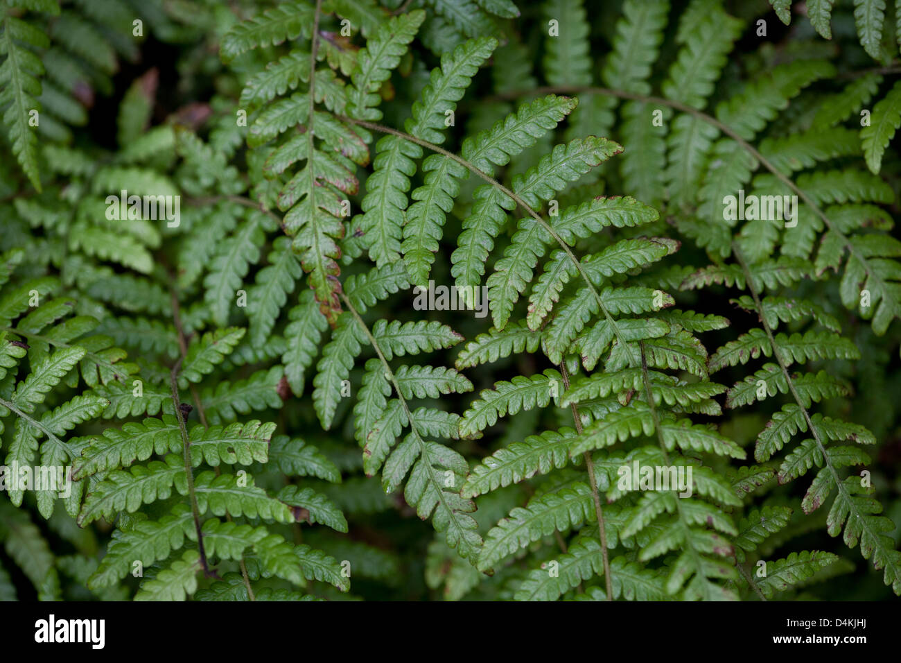 Beautiful ferns at the cloudforest floor in La Amistad national park, Panama province, Republic of Panama. Stock Photo