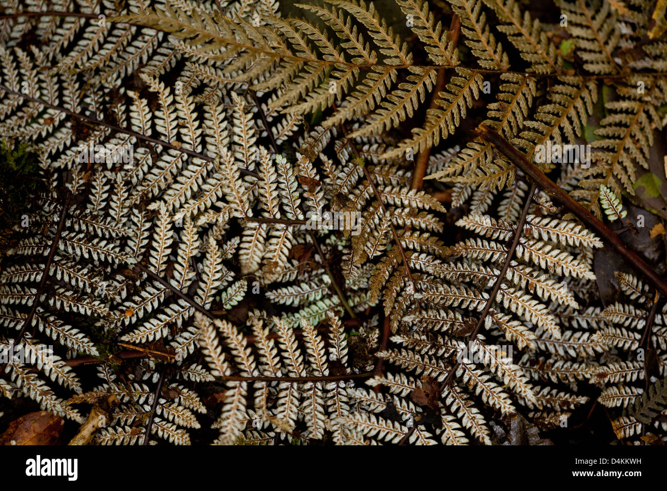 Fern leaf structures on the cloudforest floor in La Amistad national park, Panama province, Republic of Panama. - Stock Image