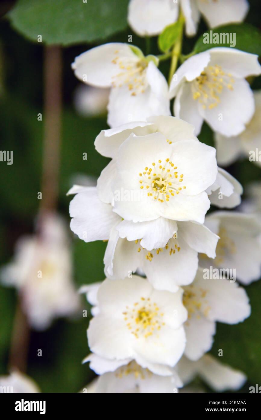 Blossom Jasmine Flowers On Bunch Spring Background Stock Photo