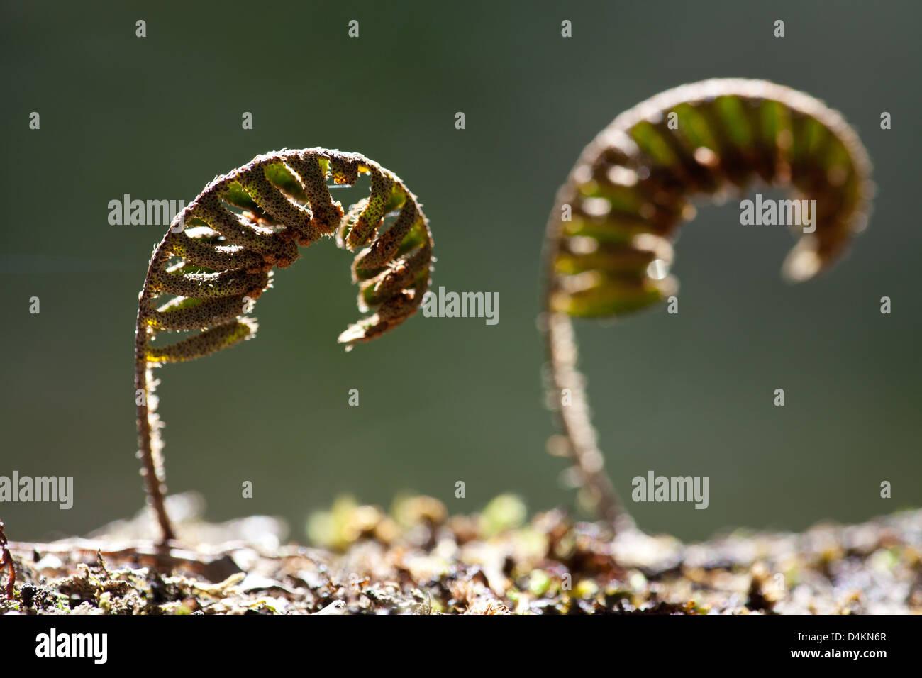 Beautiful ferns in La Amistad national park, Chiriqui province, Republic of Panama. Stock Photo